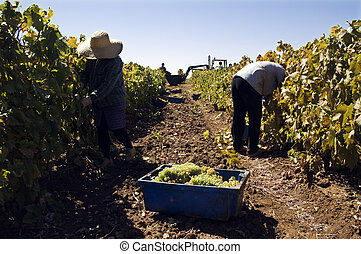 Grape-gathering - Woman and man gathering grapes in a...