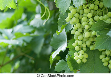 grape - green vine with blurred background
