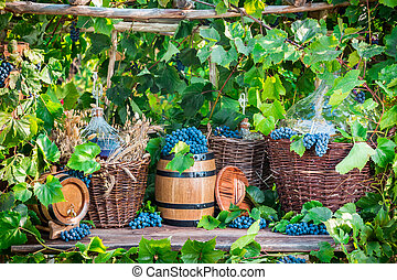 Grape harvest in a village in old fashioned style