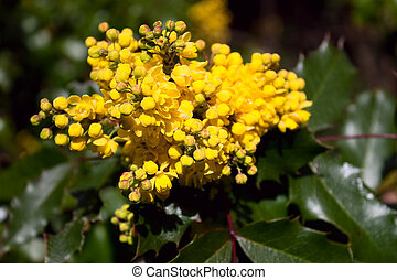 The holly like leaves and fragrant yellow flowers of the oregon grape holly with yellow blooms mightylinksfo