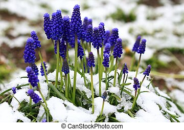 Grape hyacinth flower, Muscari Armeniacum, in the snow