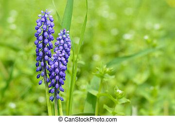 Grape hyacinth flowers closeup