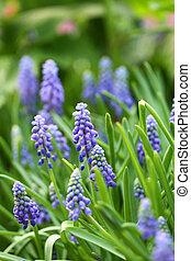 Grape hyacinth macro shot