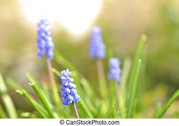Grape hyacinth - muscari macro of blue spring flowers