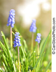 Grape hyacinth - muscari macro of blue spring flowers - vertical photo