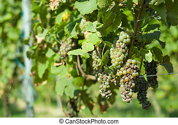 Grape illness - An example of grape illness or disease in...