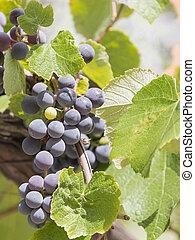 grape juicy bunch