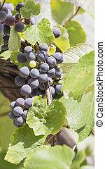 grape juicy bunch vertically