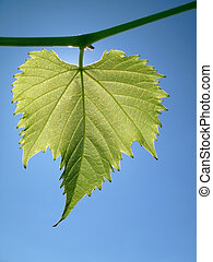 Grape leaf against the sky