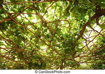 grape leaf as background - grape leaf in grape farm as...