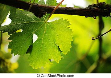 Grape leaf close-up. Shallow DOF. - Grape leaf on grapevine,...