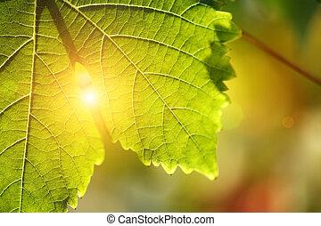 Grape leaf detail