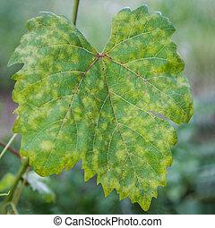 Grape leaf disease - Closeup of vine grape leaf affected by...