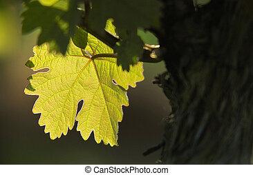 grape leaf in back light