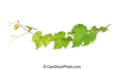 Grape leaf isolated on white background.