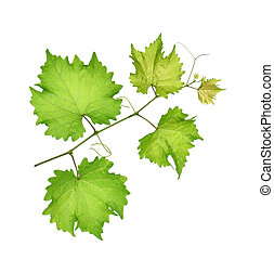 grape leaf on white background.