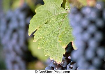 Grape leaf in the vineyard