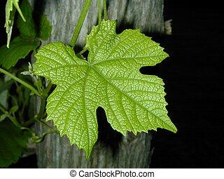 Grape Leaf - Single grape leaf on a trellis.