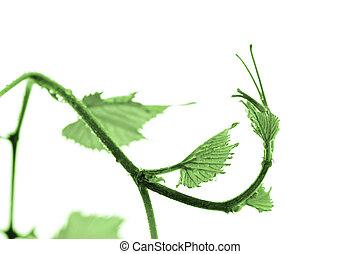 Grape leaf - Green grape leaf isolated on white