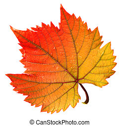 Grape leaf red warm color isolated on white