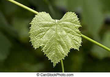 grape leaf - The green grape leaf