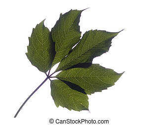 Grape Leaf - The photo shows a grape leaf in backlighting
