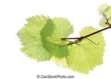 grape leaf isolated