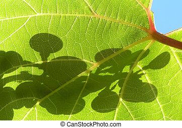 grape leaf - Green structured transparent grape leaf on a...
