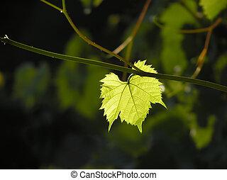 grape leaf - Single green transparent grape leaf
