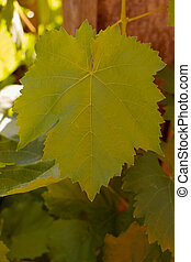 Grape Leaf - Grape leaf with other leaves and wood...