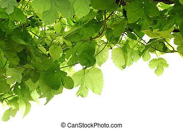 Grape Leaf - Green grape leaf on vine for nature background...