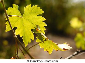 Grape leaf over defocused vineyard