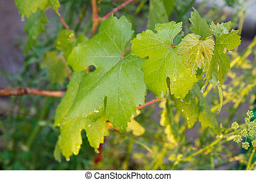 Grape leaf surface with water drops in the garden.