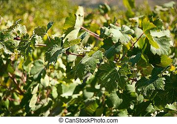 Grape leaves .