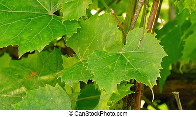 Grape leaves flutter on the wind timelapse. Green nature and...