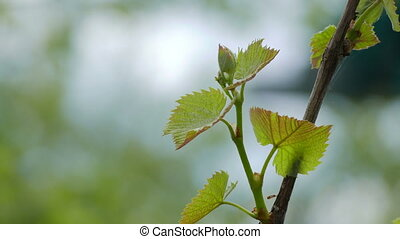 Grape leaves green nature landscape background blur video 4k