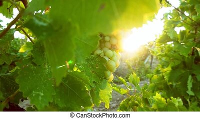 grape leaves in the sunset summer