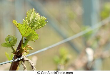 Grape leaves new sprouting