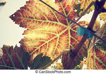 Grape leaves