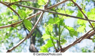 grape leaves, vine vineyard selective focus