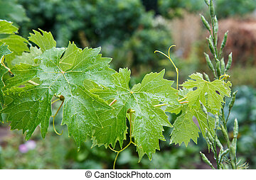 Grape leaves with water drops in the garden.
