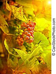 grape on plant in autumn instagram stile