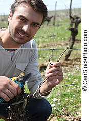 Grape picker in vine rows
