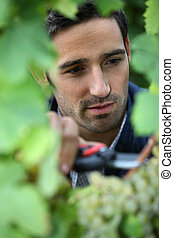 grape-picker in vineyard with clippers