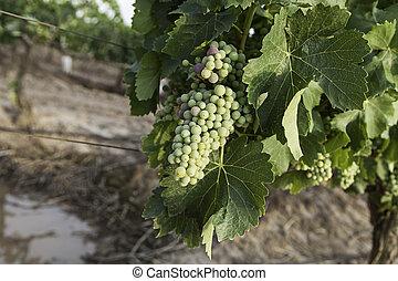 Grape picking field