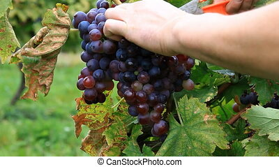 Grape picking - Picking grape in vineyard