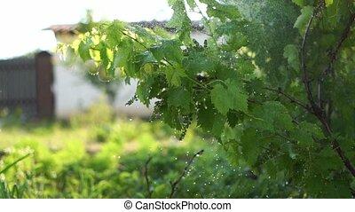 Grape plant watering on backyard garden. Slow motion of ...