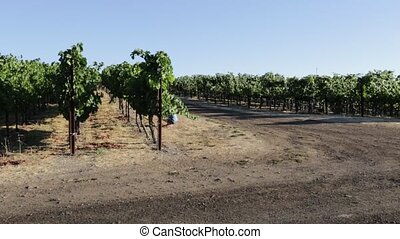 Grape plantation of Napa valley