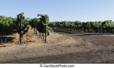 Grape plantation of Napa valley