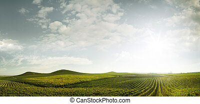 grape rows - panoramic view of grape plantation of Napa...